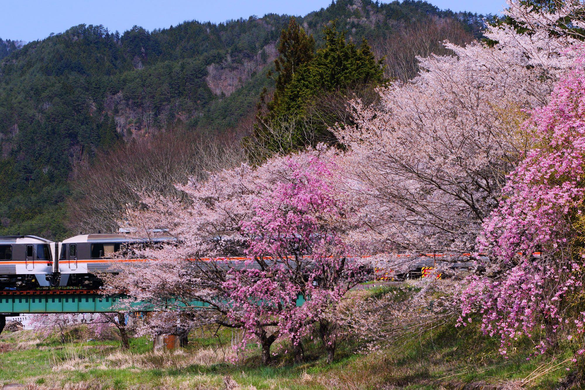 飛騨の桜と特急ワイドビューひだ号