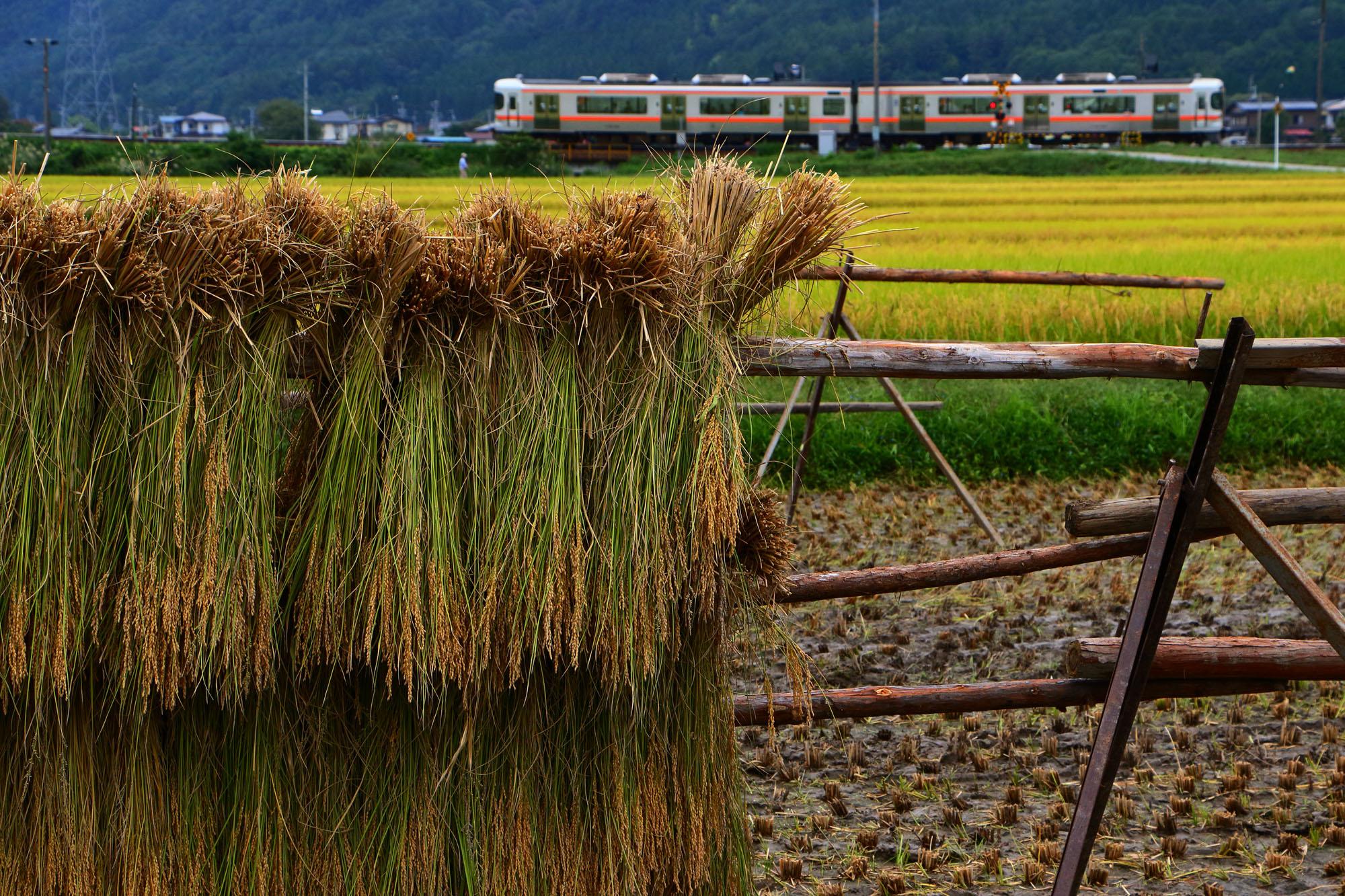 稲刈りを終えた田んぼと普通列車