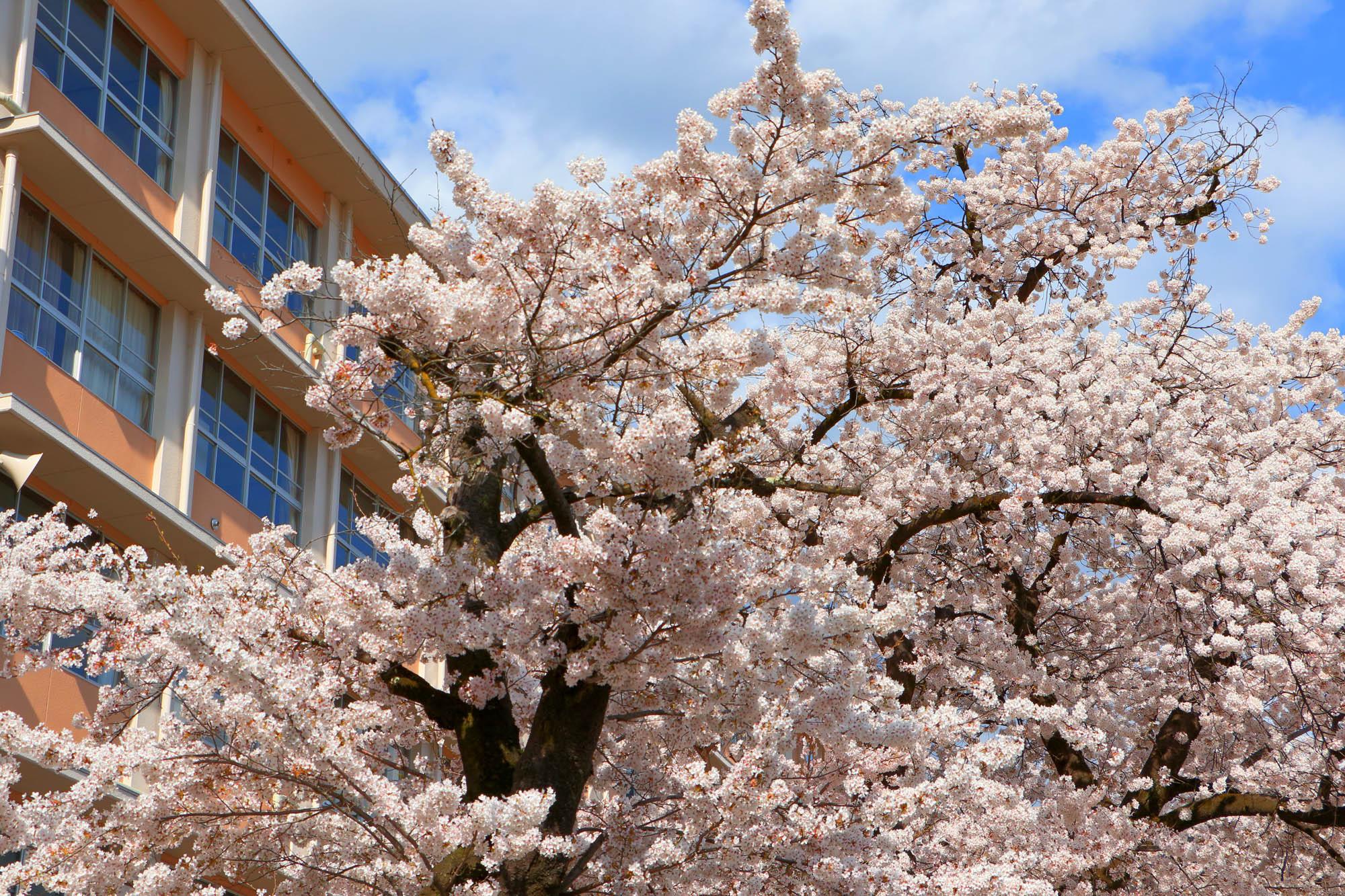 飛騨萩原 益高坂の桜
