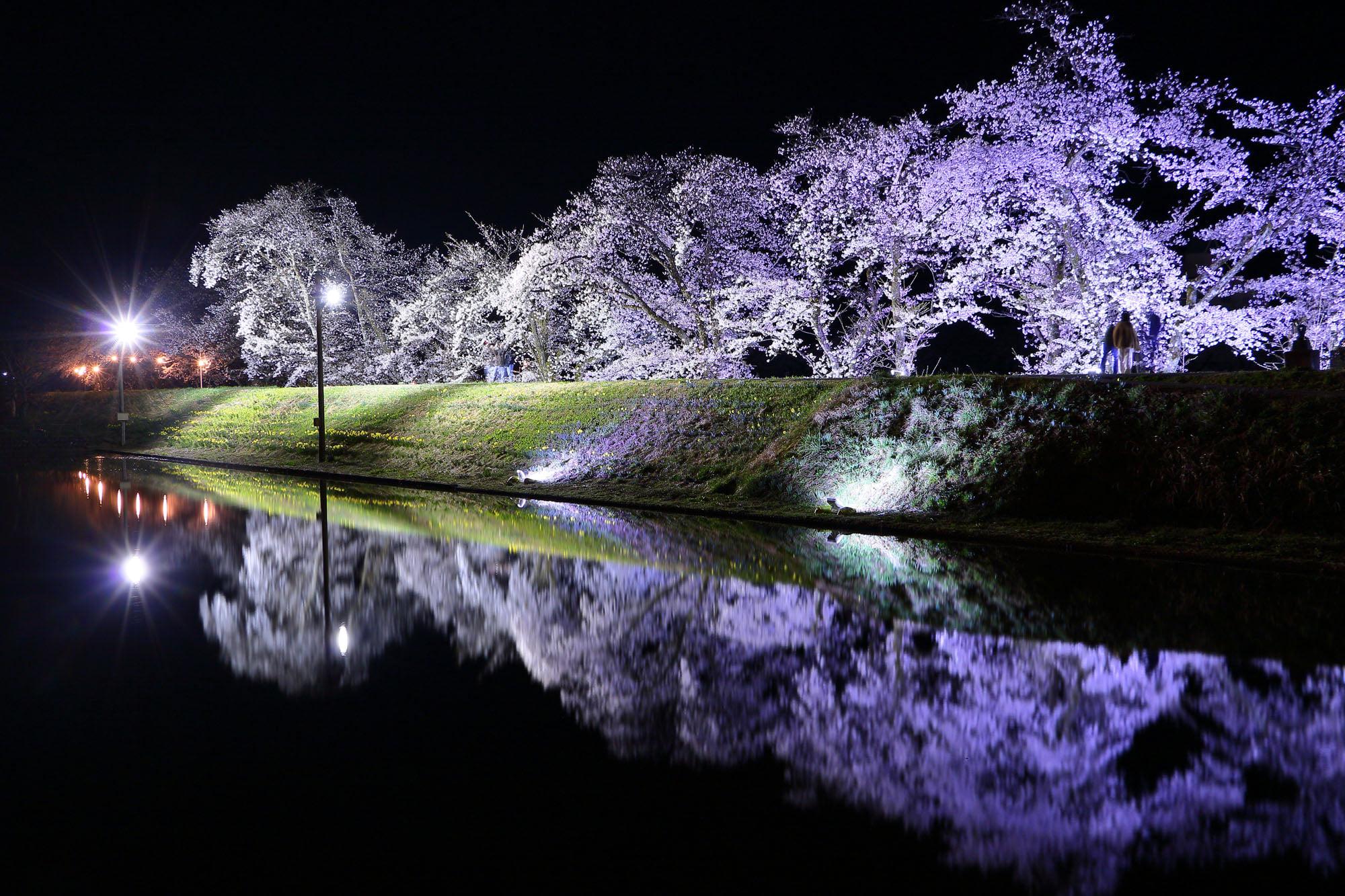 飛騨古川「御所桜」ライトアップの様子